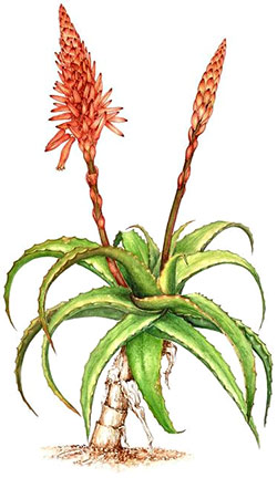 recipe with aloe arborescens