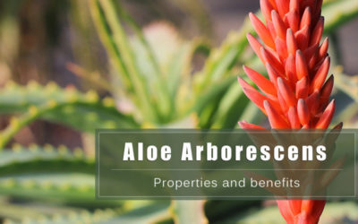 Aloe Arborescens. Properties and benefits of the Health plant.